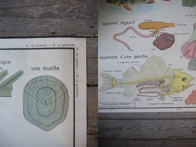 画像1: アンティーク 両面 解剖図ポスター *
